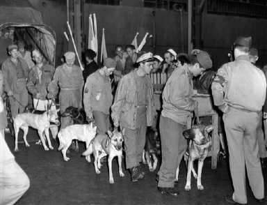 Soldier-handlers lead these war dogs, which served as sentries in the China-Burma-India Theater, from the Navy Transport General C. G. Morton which docked in New York, N.Y., Oct. 22, 1945 from Karazhi, India, with 3,114 passengers and 16 war dogs. (AP Photo)