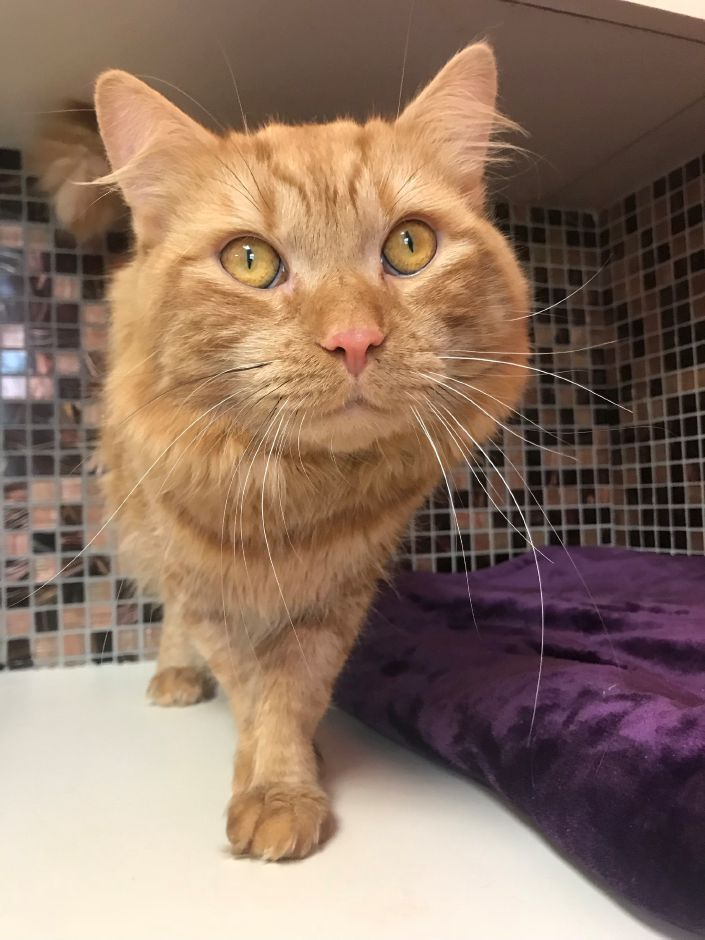Thor is a 1-year-old orange domestic short-haired cat up for adoption at the Meriden Humane Society, 311 Murdock Ave. Photo courtesy Meriden Humane Society