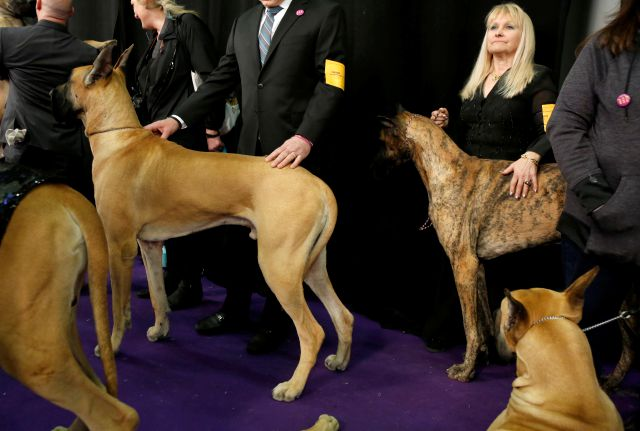 Diane Husar pets her Great Dane named Bogey while waiting to compete during the 142nd Westminster Kennel Club Dog Show in New York, Tuesday, Feb. 13, 2018. (AP Photo/Seth Wenig)