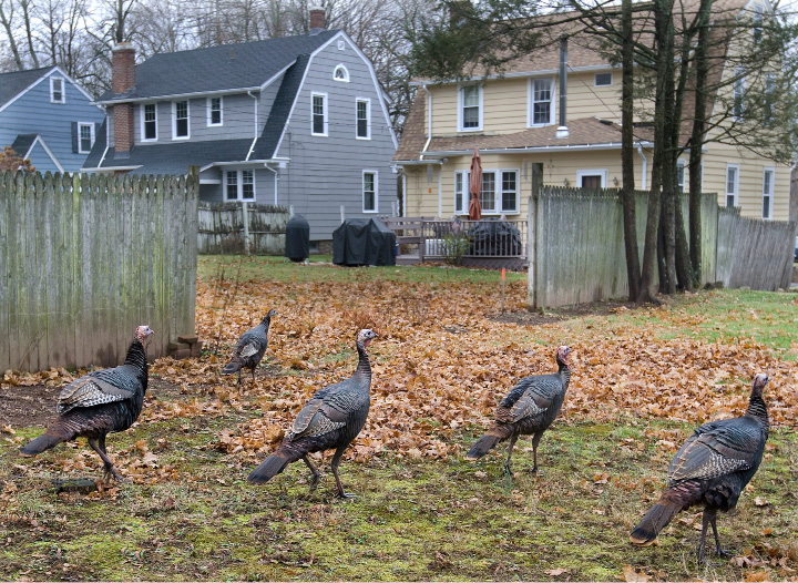 Wild turkeys roam through yards between Miles Place and Collins Parkway off East Main Street in Meriden, Wednesday, Dec. 23, 2015. The turkeys have been spotted crossing busy intersections and meandering around near Broad Street and East Main.    |  Dave Zajac / Record-Journal