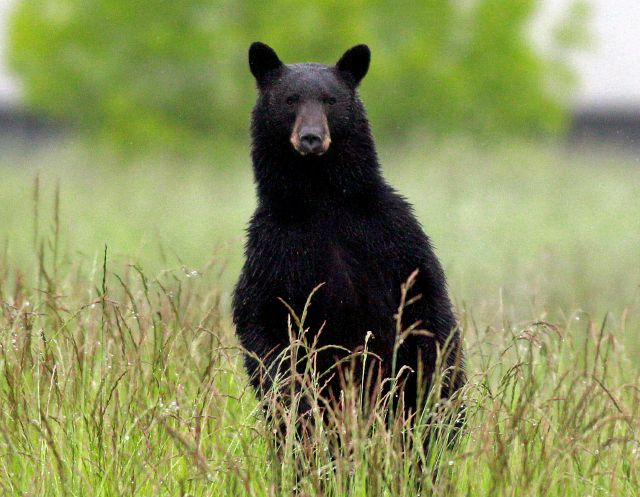 FILE - In this June 1, 2011 file photo, an adult black bear looks over the tall grass near the Tualatin Elementary School in Tualatin, Ore.  (AP Photo/Rick Bowmer, File)