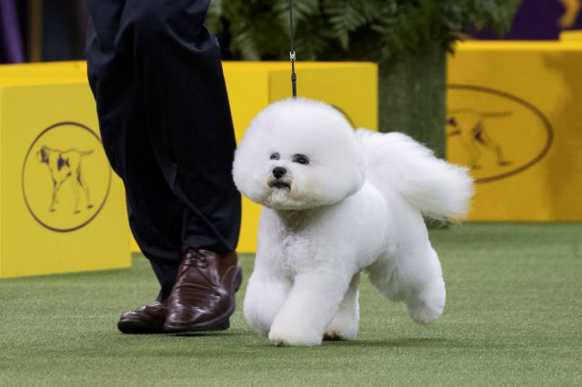 Bill McFadden shows Flynn, a bichon frise, in the ring during the non-sporting group during the 142nd Westminster Kennel Club Dog Show, Monday, Feb. 12, 2018, at Madison Square Garden in New York. Flynn won best in the non-sporting group. (AP Photo/Mary Altaffer)