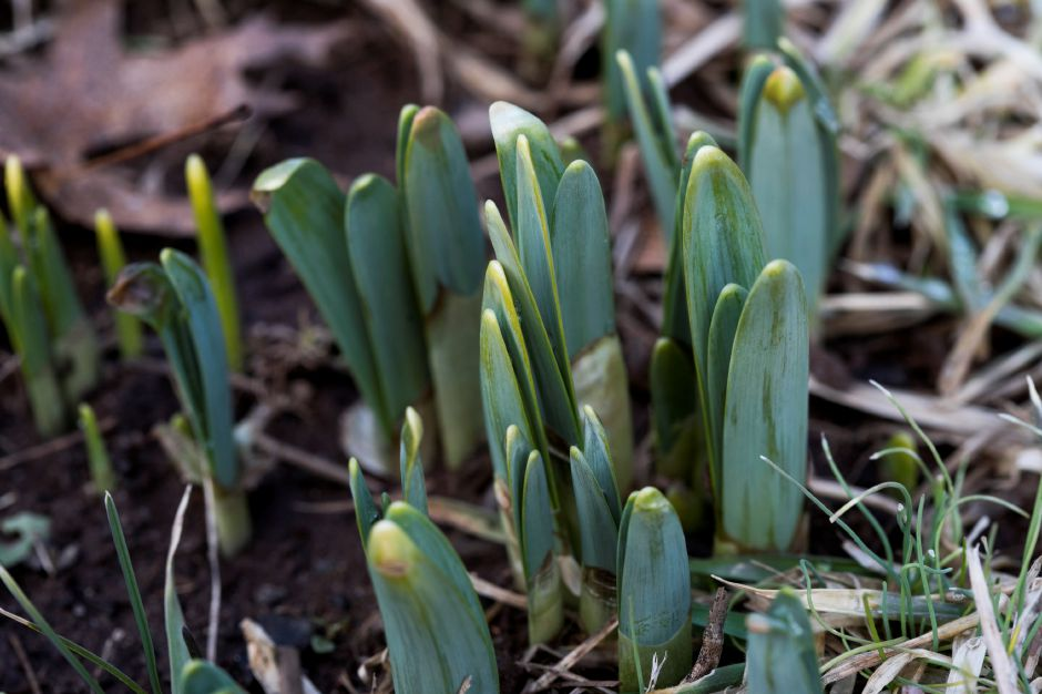 Daffodils sprouting in the northeast section of Hubbard Park in Meriden, Tuesday, February 20, 2018. Dave Zajac, Record-Journal