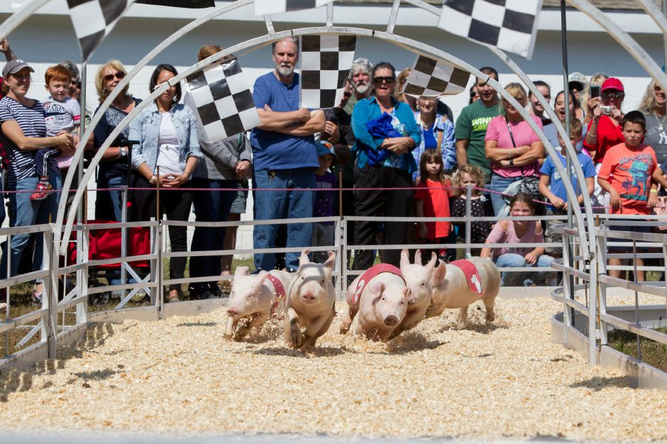 Pigs make the final turn for the finish in the Show-Me Safari Racing Pigs show Sunday during the 75th Annual North Haven Fair in North Haven September 10, 2017 | Justin Weekes / For the Record-Journal