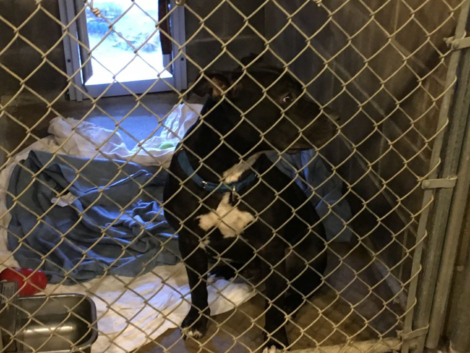 Sampson sits in a kennel at Animal Haven on Wednesday, Dec. 13, 2017. | Lauren Takores, Record-Journal