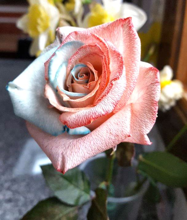 Unique two-color rose created by Mary Ellen Proto.