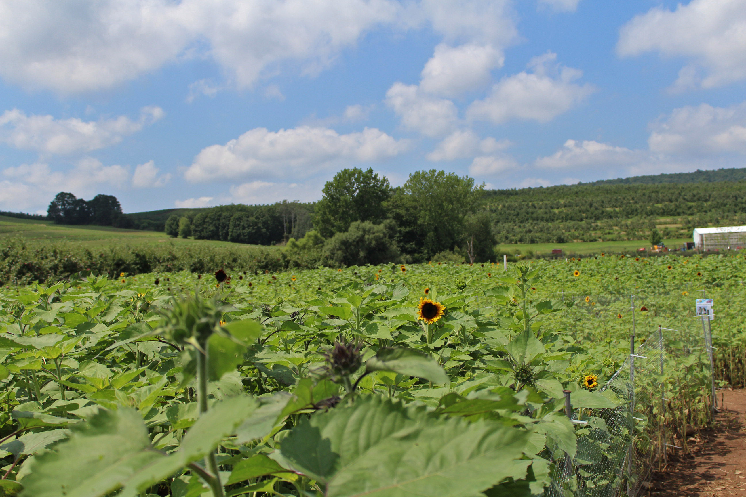 A broad view of the sunflowers from within the maze.