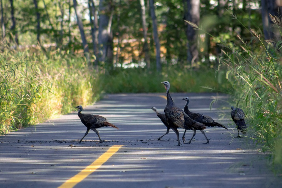 A family of turkeys cross the Farmington Canal Heritage Trail in Cheshire Sept. 4, 2018. | Richie Rathsack, Record-Journal