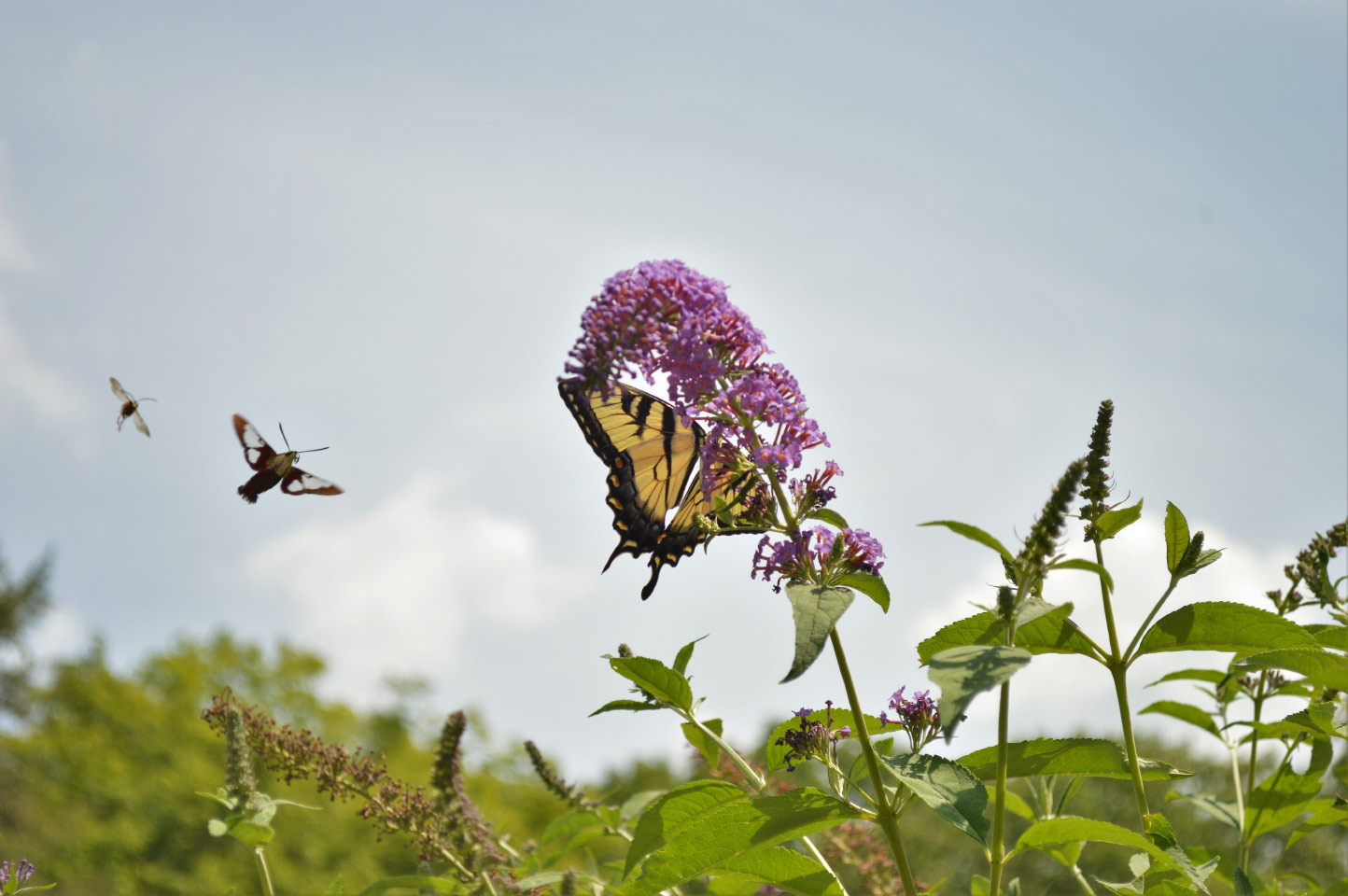 Meriden Tiger Swallowtails And White Cabbage Butterflies Float