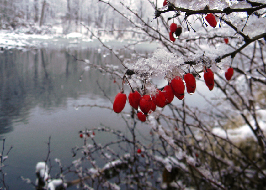 Berries grow beside the bank of Railroad Pond. | (Daniel Jackson/Berlin Citizen)