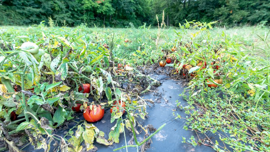 Tomatoes growing on Cold Springs Brook Farm in Berlin. Many farmers have been struggling with high rainfalls and humidity damaging crops growing close to the gound. | Devin Leith-Yessian/Record-Journal