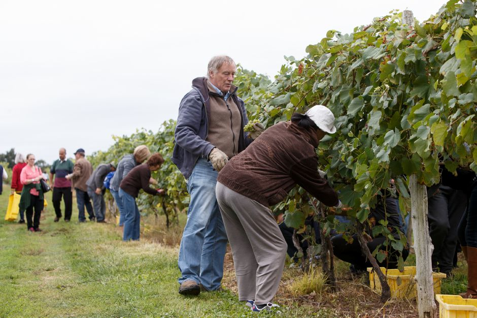 Mike Alston and Min Cui of Madison work along a row of vines Sunday during the Gouveia Vineyards Harvest at Gouveia Vineyards in Wallingford September 23, 2018 | Justin Weekes / Special to the Record-Journal
