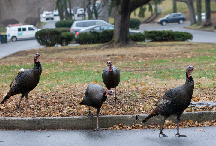Wild turkeys roam around Collins Parkway off East Main Street in Meriden, Wednesday, Dec. 23, 2015. The turkeys have been spotted crossing busy intersections and meandering around near Broad Street and East Main.    |  Dave Zajac / Record-Journal