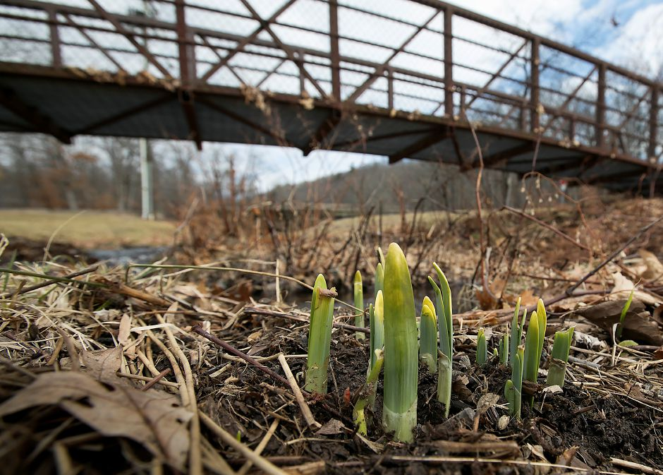 Daffodils sprout Tuesday in the northeast section of Hubbard Park in Meriden. Dave Zajac, Record-Journal