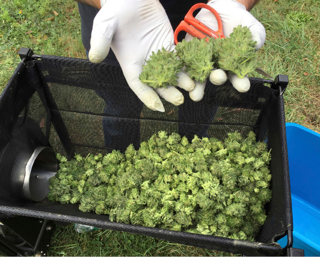 FILE--In this Sept. 30, 2016, file photo, a harvester examines marijuana buds from a trimming machine near Corvallis, Ore. In Oregon, at least 12,500 jobs are attributed to legal recreational marijuana and in Oregon, Washington state and Colorado, marijuana tax revenues totaled $335 million in 2016. (AP Photo/Andrew Selsky, file)