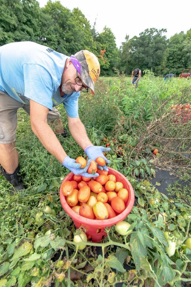 Thomas Wrobel picks tomatoes on Cold Springs Brook Farm in Berlin. Many farmers have been struggling with high rainfalls and humidity damaging crops growing close to the gound. | Devin Leith-Yessian/Record-Journal