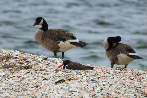 American oystercatchers mingle with Canada geese at Pleasure Island in Bridgeport. | Richie Rathsack / Record-Journal