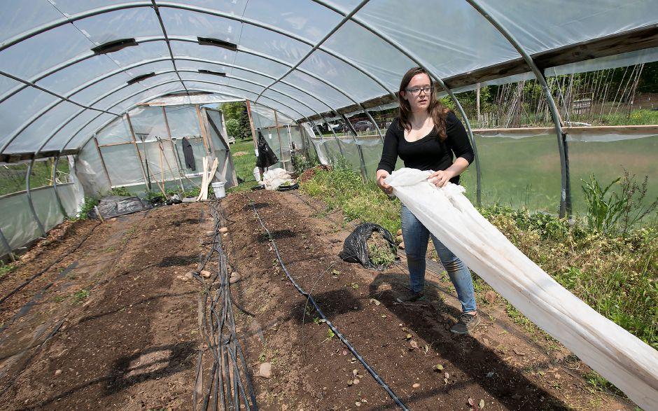 Sydney Downham, 21, farm manager, covers Swiss chard while working Monday in one of several greenhouses at Boulder Knoll Community Farm in Cheshire. It's early growing season at the farm and they