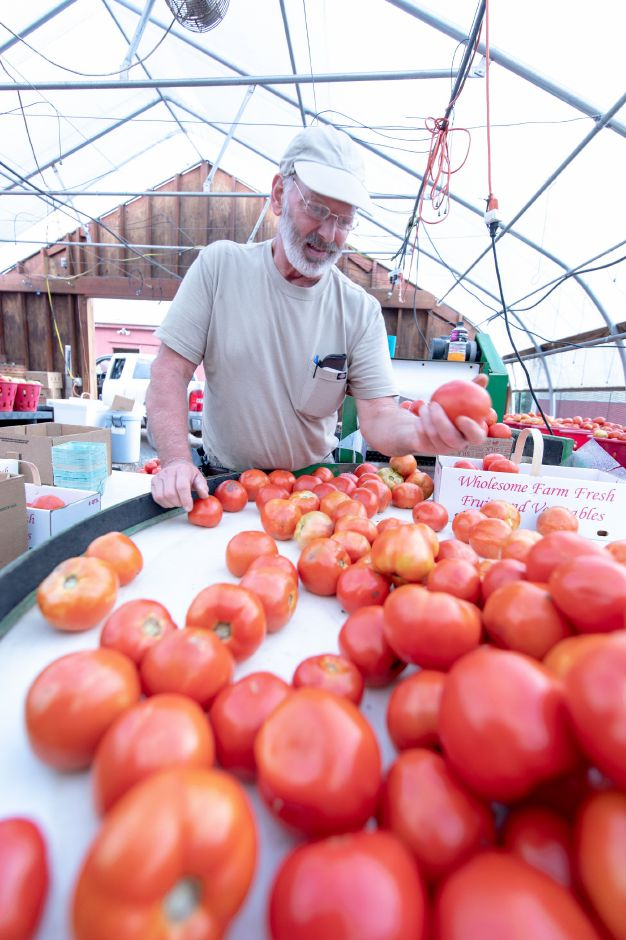 Steve Vengtson, owner of Cold Springs Brook Farm in Berlin, sorts tomatoes. Many farmers have been struggling with high rainfalls and humidity damaging crops growing close to the gound. | Devin Leith-Yessian/Record-Journal
