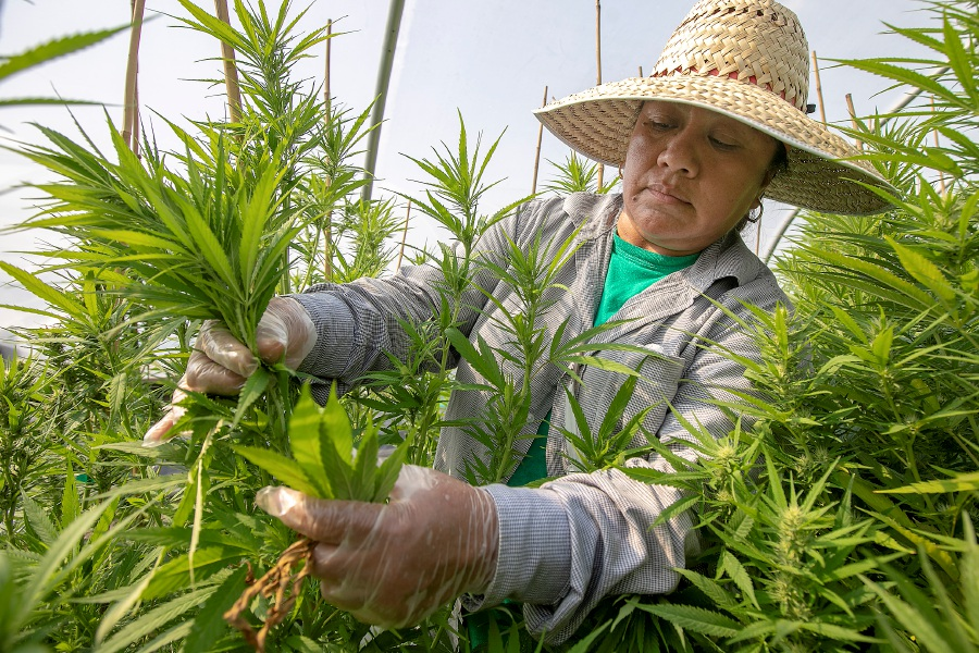 Worker Aurelia Romero hand trims hemp plants at Sunny Border Nurseries Inc. in Berlin, Wed., Sept. 11, 2019. The business is about three weeks away from harvesting its first hemp crop. Sunny Border Nurseries Inc. is one of several hemp growers granted a license for the state's hemp pilot program. Dave Zajac, Record-Journal