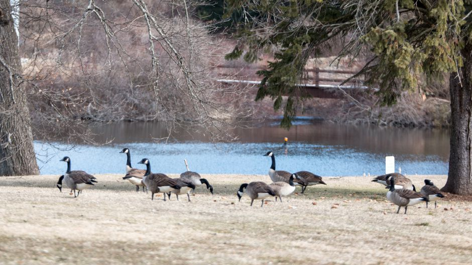 Residents of Spring Lake Village in Southington are conflicted over a proposal to euthanize the Canada geese which live at the lake. The notice sent to residents cites health hazards caused by the birds