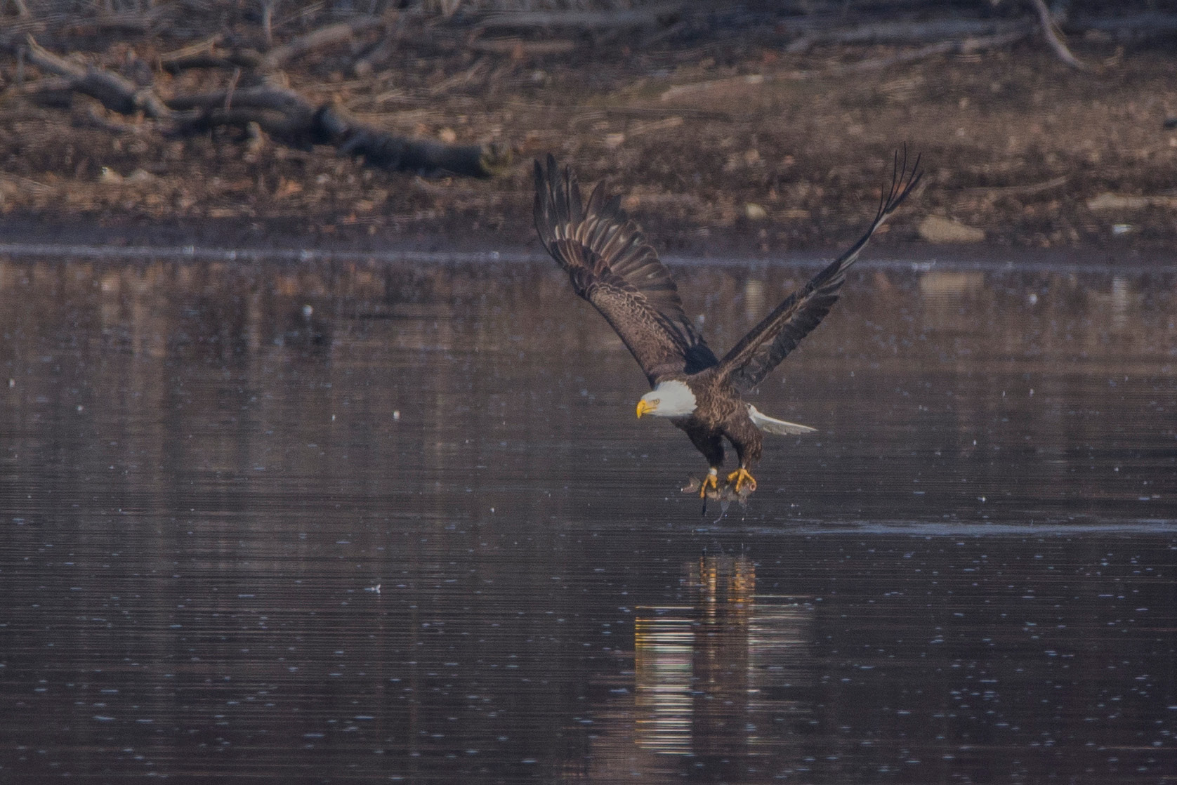 A bald eagle carries off a fish from Hanover Pond in Meriden Thursday morning. | Photos by Richie Rathsack, Record-Journal