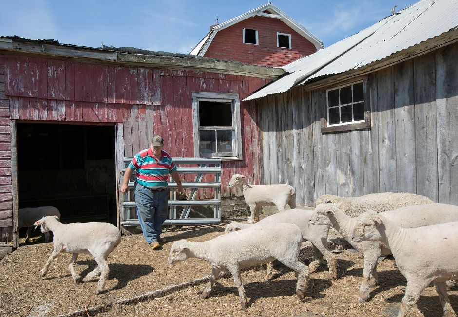Russell Robinson, of Meriden, walks in the sheep pen at Greenbacker Farm on Murdock Avenue in Meriden, Tuesday, June 26, 2018. Robinson is husband of Kathy Robinson, owner of the family farm and Agway building across the street. Both properties are for sale. Dave Zajac, Record-Journal Dave Zajac, Record-Journal