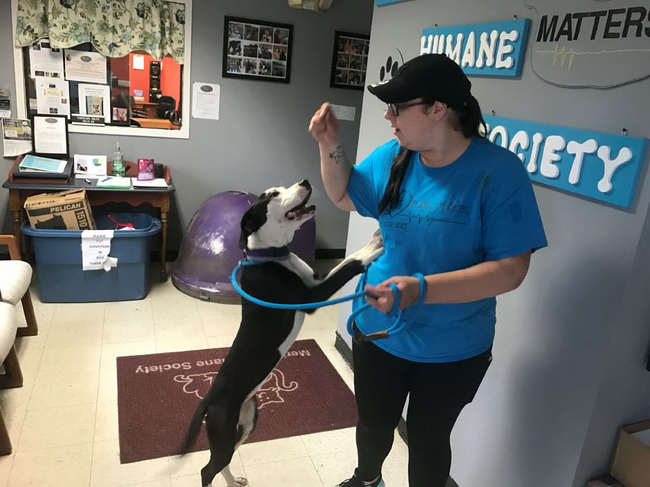 Cali, a 10-month-old boxer/lab mix up, waits for a treat from animal care coordinator Danielle Consiglio at the Meriden Humane Society on Oct. 11, 2017.