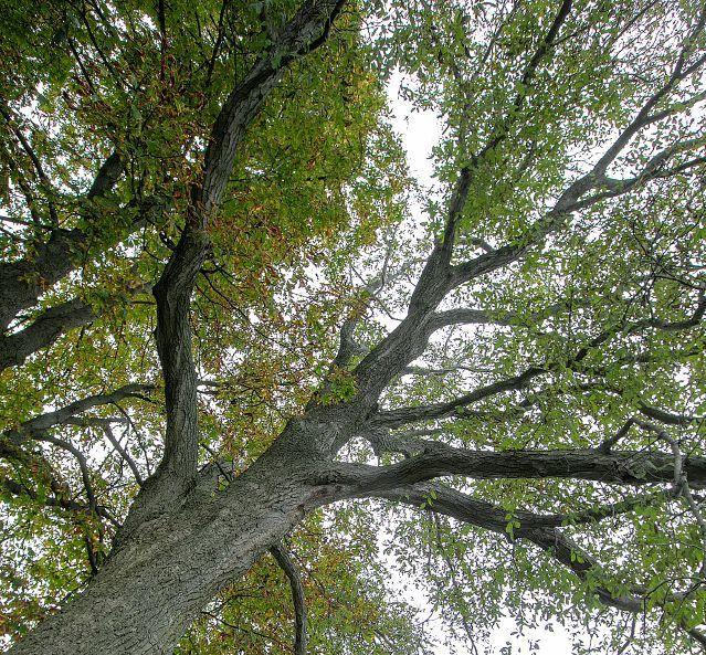 Wallingford family's English walnut tree among state's largest