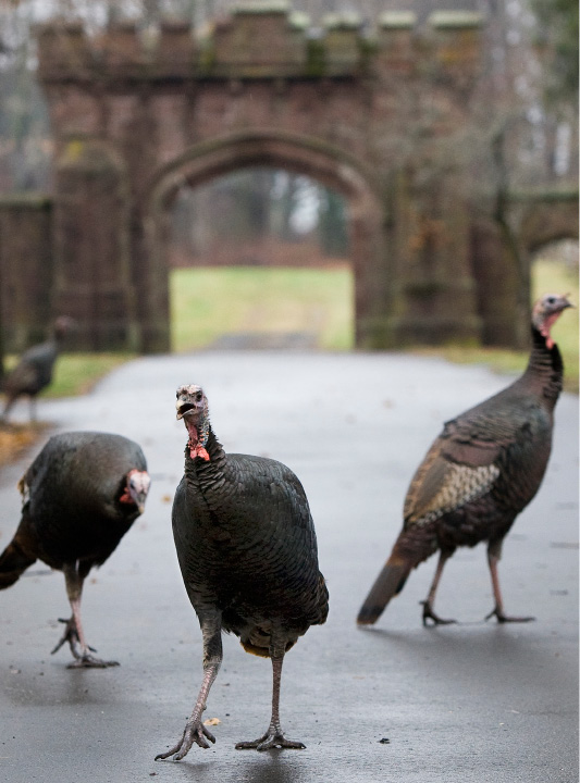 Wild turkeys roam around Miles Place near the entrance of East Cemetery in Meriden, Wednesday, Dec. 23, 2015. The turkeys have been spotted crossing busy intersections and meandering around near Broad Street and East Main.    |  Dave Zajac / Record-Journal