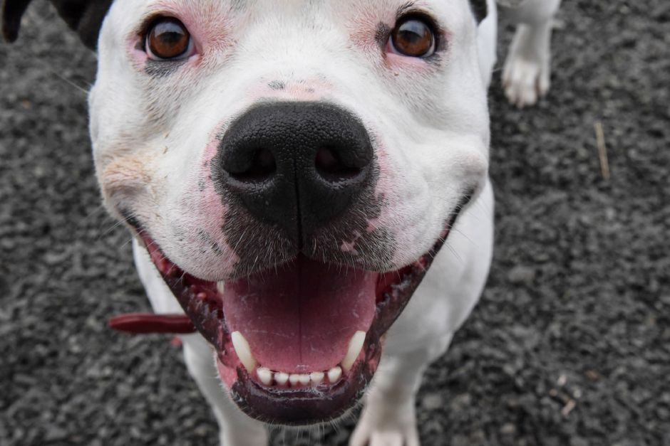 Jack, 4-year-old pitbull mix, currently up for adoption at the Wallingford Animal Control, at 5 Pent Rd., on Thursday, May 10, 2018. | Matthew Zabierek, Record-Jounal