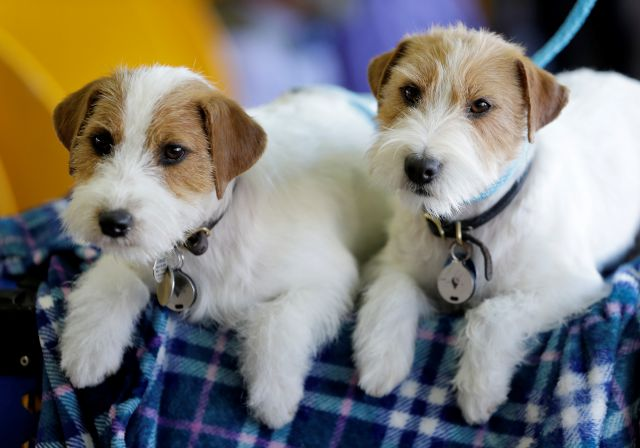 Russell terriers named Dom, right, and Demi relax in the benching area during the 142nd Westminster Kennel Club Dog Show in New York, Tuesday, Feb. 13, 2018. (AP Photo/Seth Wenig)