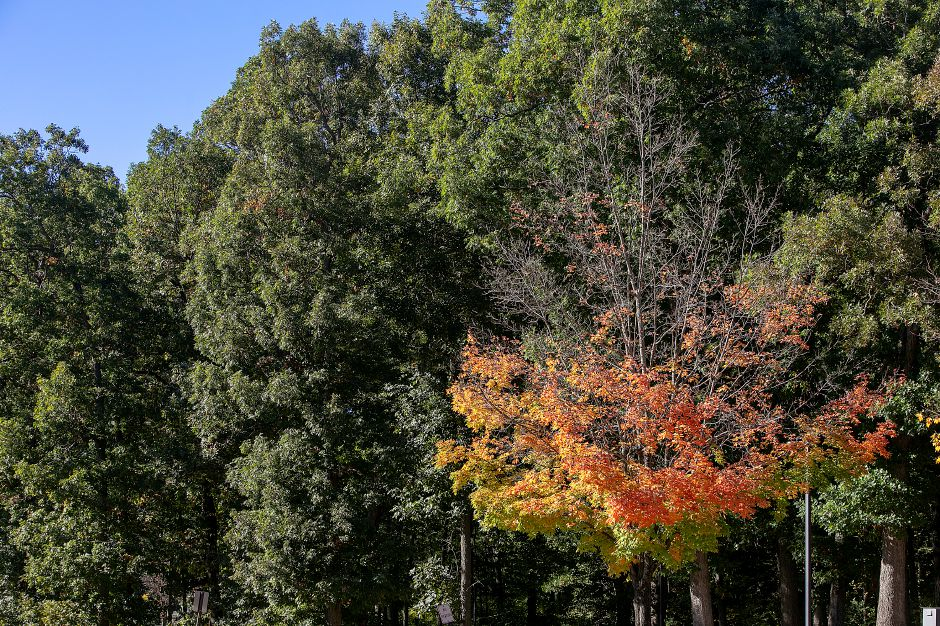 A few trees at Falcon Field in Meriden have lost leaves while the majority remain green Friday, Oct. 12, 2018. Dave Zajac, Record-Journal