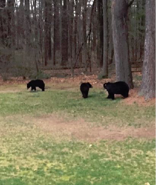 Black bears outside a Southington home. | Courtesy of Mary Anne O'Brien
