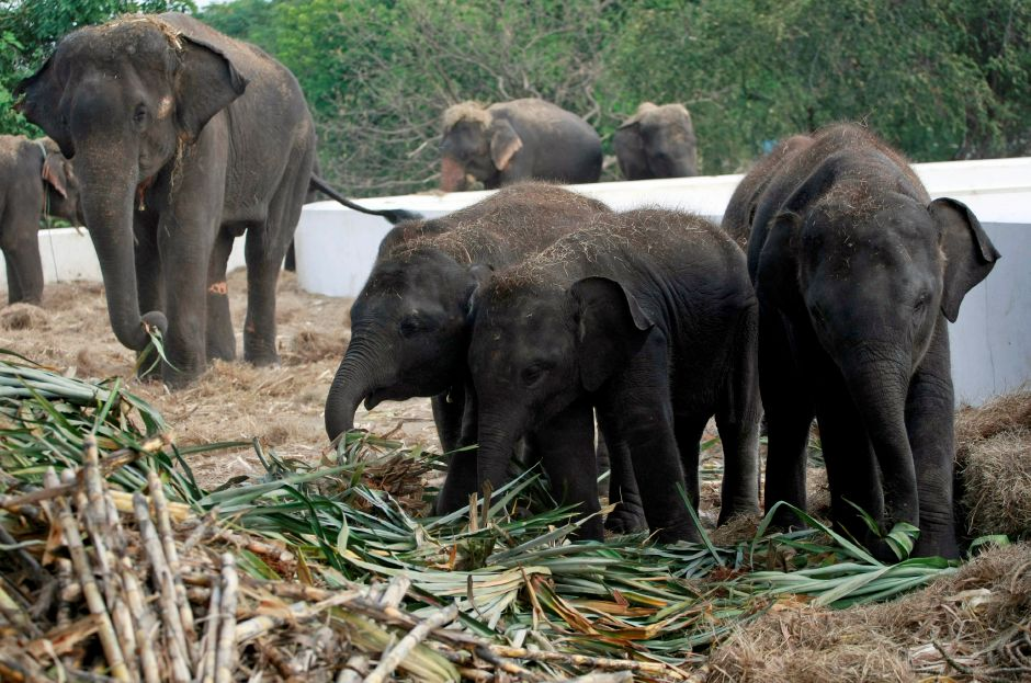 In this photo taken Monday, Oct. 31, 2011, elephants are fed with fresh sugarcanes at the elephant camp in Ayutthaya province, central Thailand. (AP Photo/Apichart Weerawong)