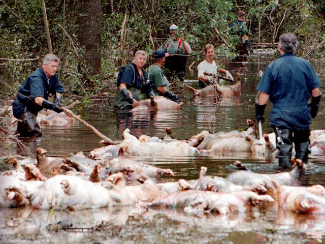 FILE - In this Sept. 24, 1999, file photo, employees of Murphy Family Farms along with friends and neighbors, float a group of dead pigs down a flooded road on Rabon Maready