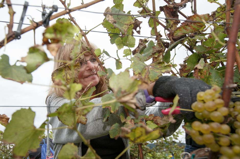 Maria Williams of Wallingford clips a grape bunch off the vine Sunday during the Gouveia Vineyards Harvest at Gouveia Vineyards in Wallingford September 23, 2018 | Justin Weekes / Special to the Record-Journal