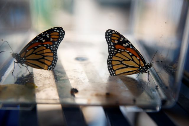 Two newly emerged monarch butterflies sit in a container before being released in Laura Moore