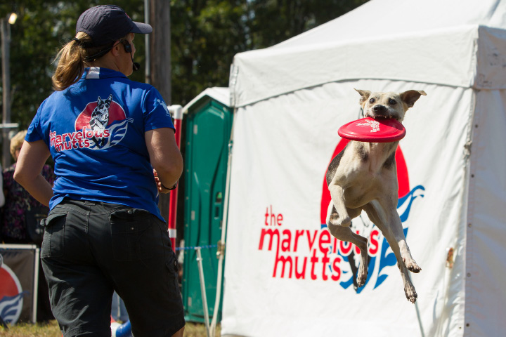 "Kara Gilmore of The Marvelous Mutts tosses a frisbee to ""Shazan"" a 6 year old mix Sunday during the 75th Annual North Haven Fair in North Haven September 10, 2017 