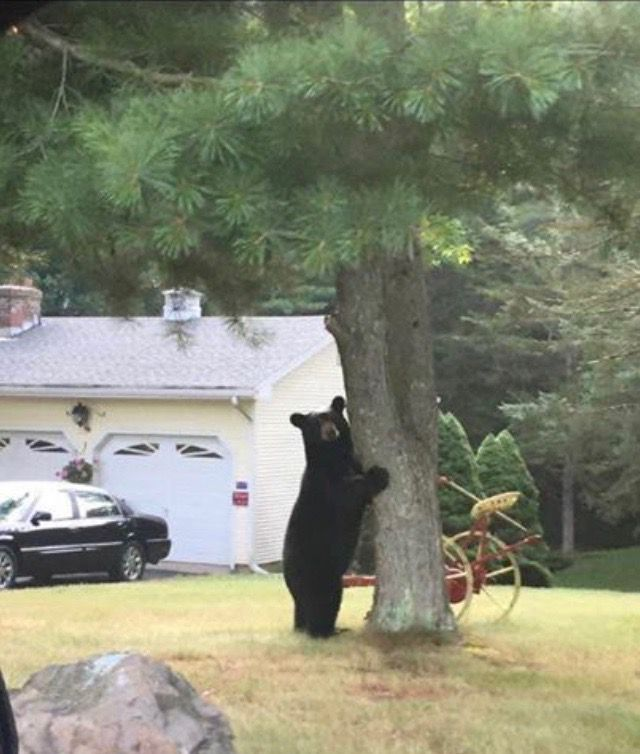 This black bear was spotted outside a house in Hamden. | Photo courtesy of Kris Wetmore