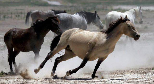 FILE - In this June 29, 2018, file photo, wild horses kick up dust as they run at a watering hole outside Salt Lake City. The U.S. government is seeking new pastures for thousands of wild horses that have overpopulated Western ranges. Landowners interested in hosting large numbers of rounded-up wild horses on their property can now apply with the U.S. Bureau of Land Management. (AP Photo/Rick Bowmer, File)
