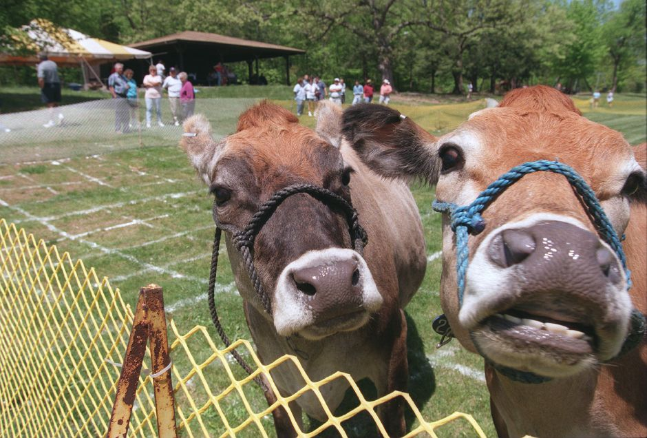RJ file photo - In the background, groups of people wager and wait for these two Guernsey cows to do their stuff at the Cow Chip Raffle at the YMCA Outdoor Center in Meriden May 15, 1999.