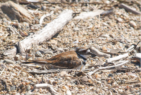 A killdeer sits on a nest at Hammonasset State Park. | Richie Rathsack/Record-Journal