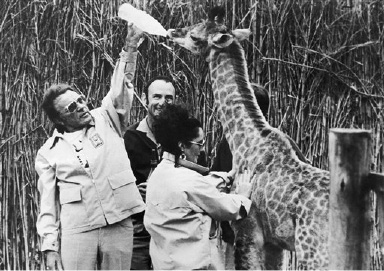 Richard Burton stretches to feed a young giraffe in South Africa