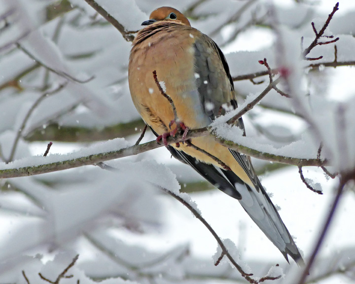 A mourning dove sits on a branch of a snow-covered tree in Wilcox Park. Friday