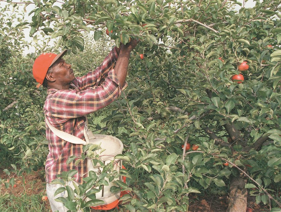 RJ file photo - Septimus Ellington, a fruit picker for Blue Hills Farms off Mansion Road in Wallingford, picks Red Free apples at the orchard, Aug. 1998.