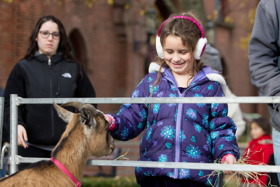 Haylee Hicks 6 of Wallingford feed hay to a billy goat Saturday during Season of Celebration at the Town Hall in Wallingford December 2, 2017 | Justin Weekes / For the Record-Journal