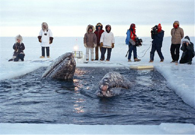 Barrow, Alaska, Oct. 22, 1988,  two trapped California gray whale surfaces in a small breathing whole in the Arctic Ocean ice near Barrow on Saturday A third whale is missing and presumed dead. The whales have been trapped in the ice for  over two weeks. Rescue efforts so far have failed.  (AP Laserphoto / Jack Smith)