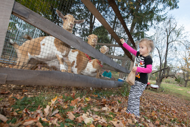 Sophie Pace 2 of Southington hold out treats for the goats Sunday during the Goats and Goblins Parade at Bradley Mountain Soaps in Southington Oct. 30, 2016 | Justin Weekes / For the Record-Journal