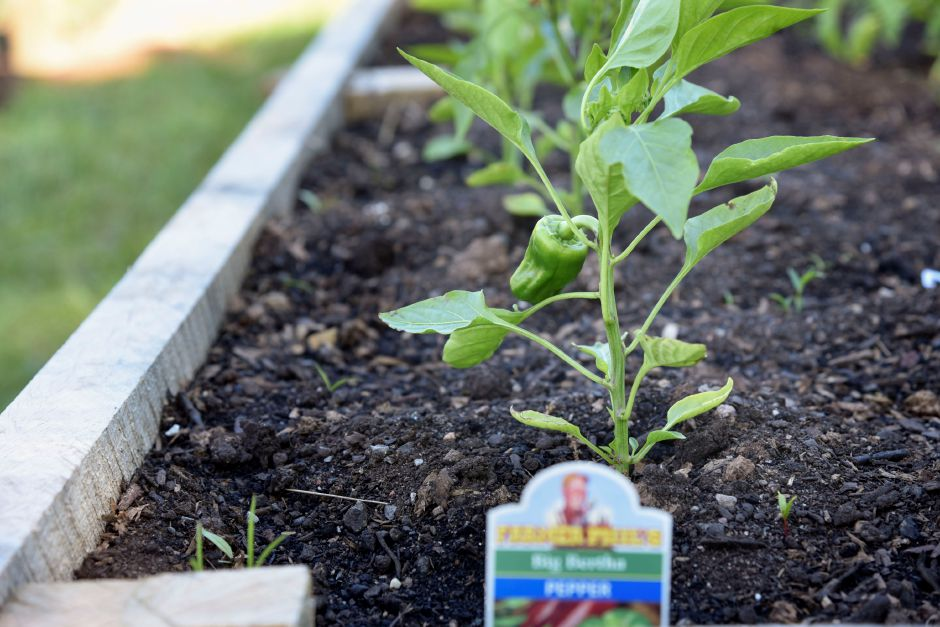 Peppers grow at the Durham-Middlefield Giving Garden, behind the community center on Main Street, on June 14, 2019. All the food produced is donated. Volunteers are welcome every Saturday from 9 a.m. to noon. | Bailey Wright